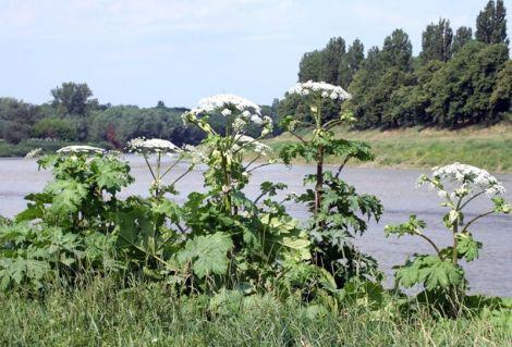 Борщівник - небезпечна рослина