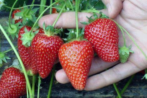 Користь полуниці у харчуванні