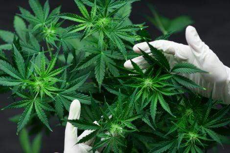 Легалізація марихуани у Литві