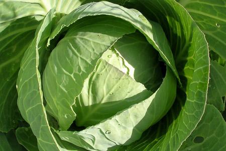 Капустяне листя - домашні ліки при травмах