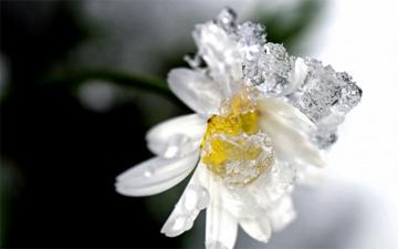 вмивання ромашковим льодом дозволить тонізувати шкіру