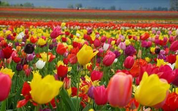 тюльпан можна використовувати в лікуванні