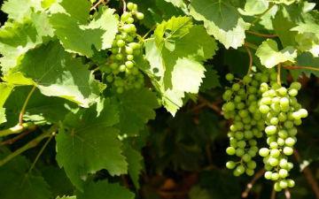 Виноград лікує серце