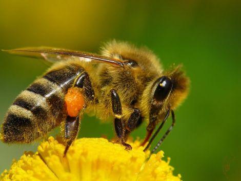 Укуси бджіл не завжди небезпечні