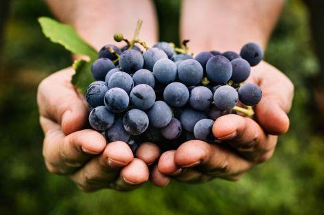 У кісточках винограду міститься багато корисних речовин