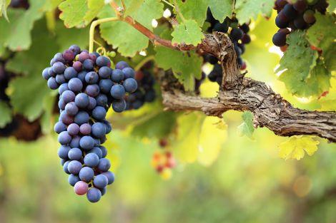 Виноград може пошкоджувати емаль зубів