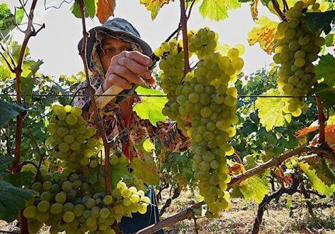 Виноград захистить від раку
