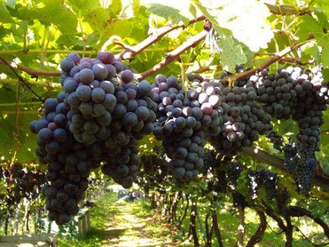 Виноград для лікування раку
