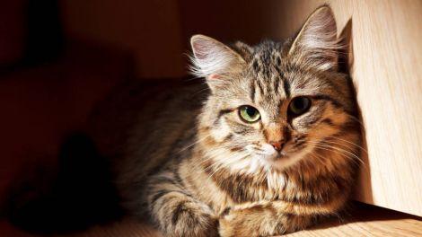 Чи може наявність кішок в будинку вплинути на розвиток хвороб мозку, пояснили вчені