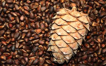 настоянка з кедрових горіхів допоможе при багатьох захворюваннях