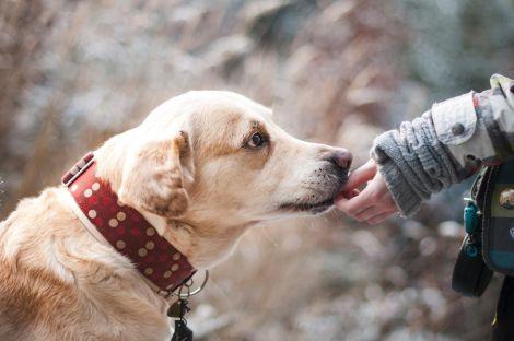 Собаки діагностують рак за запахом слини людини