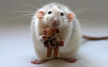 експеримент на мишах підтвердив, що бактерії лікують ожиріння