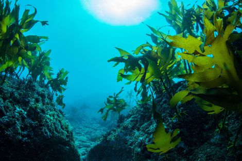 Морські водорості для лікування раку мозку