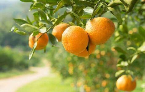 Протипоказання для вживання апельсинів
