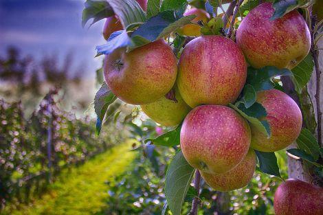 Яблука корисно їсти зі шкіркою