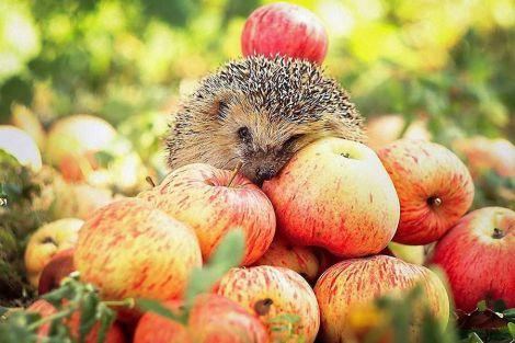 Від онкологічних хвороб захистять яблука