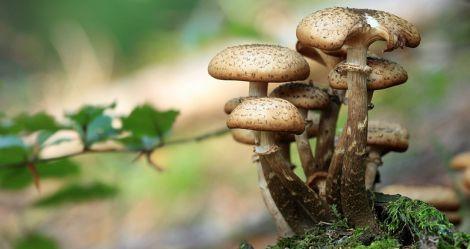Корисні лісові опеньки