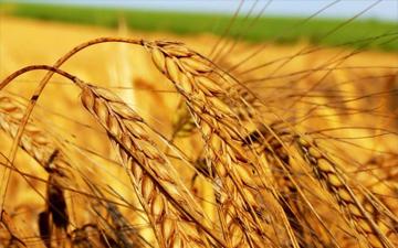 продукти з пшениці пришвидшують процес старіння
