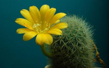 При приготуванні рецептів на основі кактуса, необхідно ретельно прибирати колючки