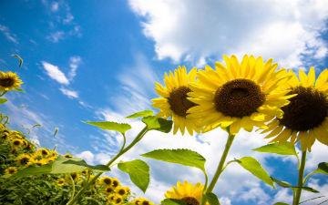 Насіння соняшника необхідне для хорошої роботи серця