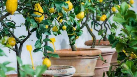 Як виростити лимон з кісточки і особливості догляду за рослиною