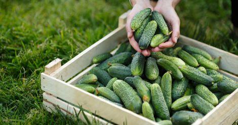 Огірки можуть замінити деякі препарати