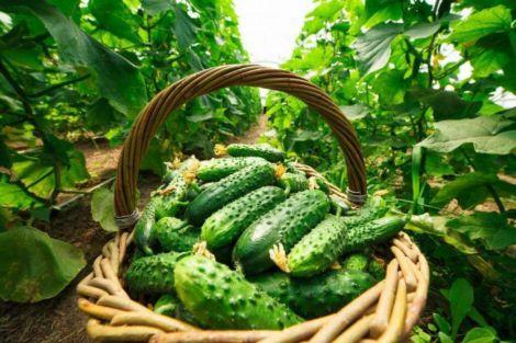 Как выбрать лучшие семена огурцов?