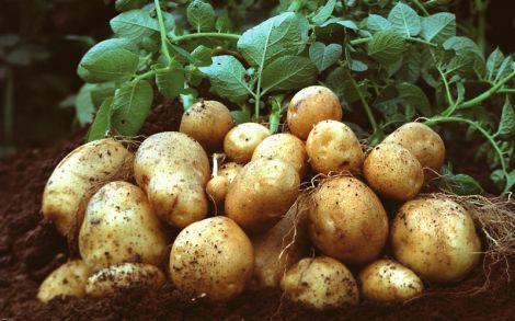 Корисна картопля