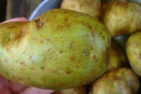 Небезпечна зелена картопля