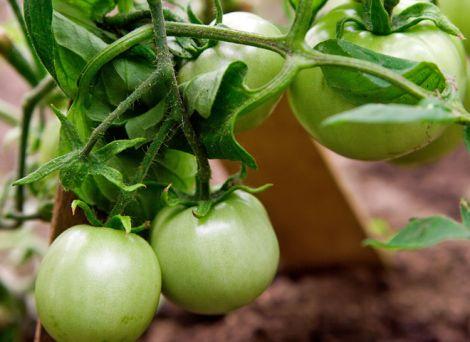 Зелені помідори містять антиоксидант лікопен