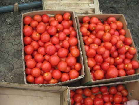 Де краще зберігати помідори?