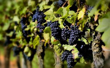 Їжте якомога більше чорного винограду