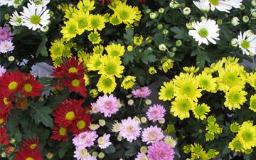 хризантеми здавна використовуються у лікуванні серцево-судинних захворювань