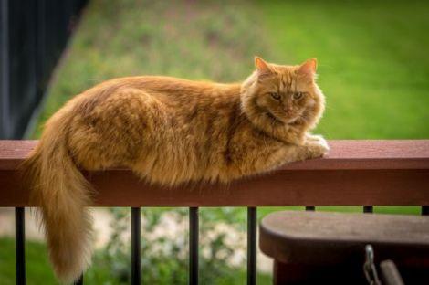 Які симптоми коронавірусу у тварин?
