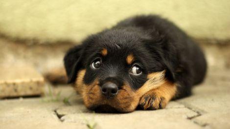 Собаки можуть діагностувати хвороби людей