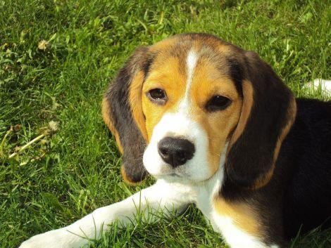 Як собаки виявляють рак легень?