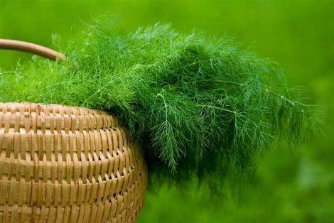 Корисні властивості кропу