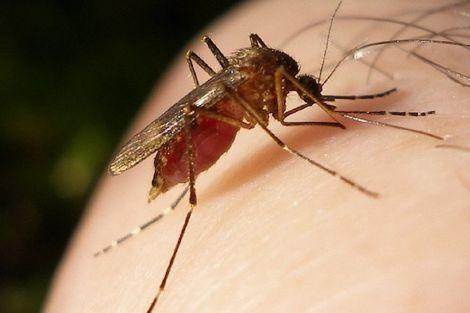 Від COVID-19 захистять комарі