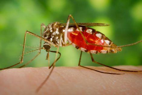 Комарі переносять хвороби