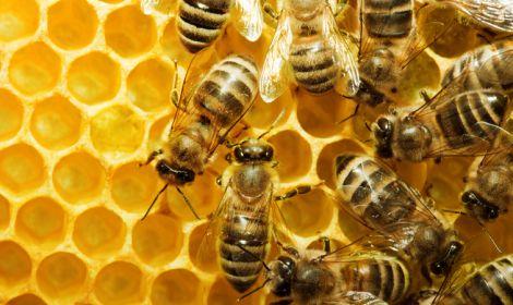 Бджоли для нормалізаії артеріального тиску