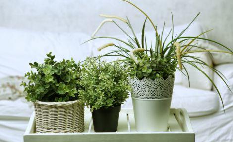 Корисні домашні рослини