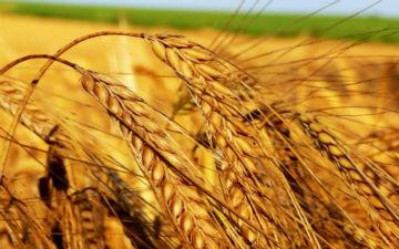 Пшениця - одна з джерел вітаміну В6