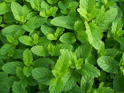 Науковці назвали рослину, що лікує усі хвороби