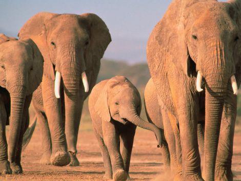 Слони мають ген, який вилікує рак