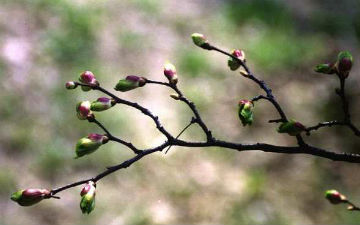 Бруньки рослин містять ефірні олії, вітаміни, салонін, кислоти, цукор, крохмаль