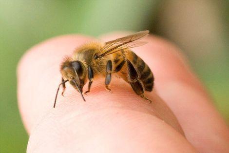 Що робити, якщо вкусила бджола або оса?