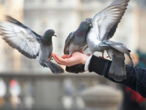 Якими хворобами можуть заразити міські птахи?