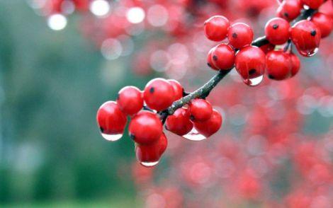 Калина - найкорисніша ягода для печінки