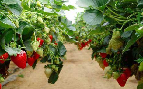 Способи вирощування полуниці