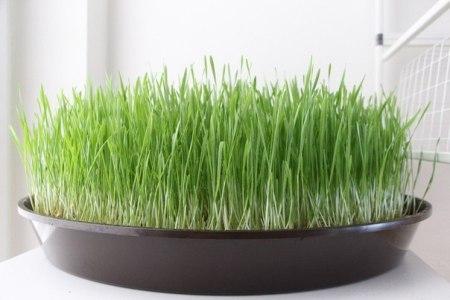Паростки пшениці дозволяють врівноважити свій внутрішній баланс